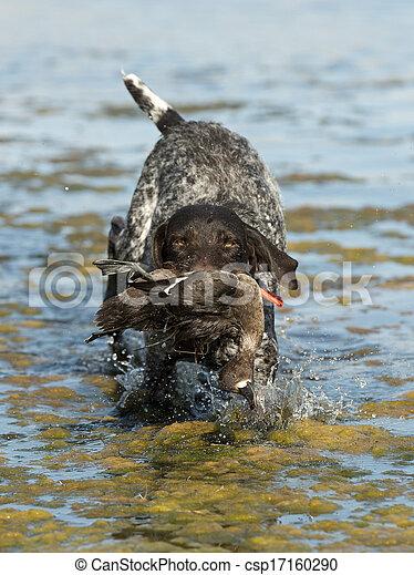 Hunting Dog - csp17160290