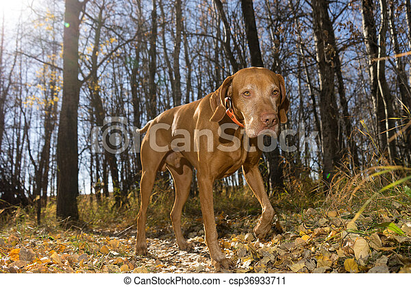 hunting dog walking in the forest - csp36933711