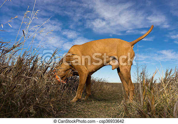 hunting dog with head in the grass - csp36933642