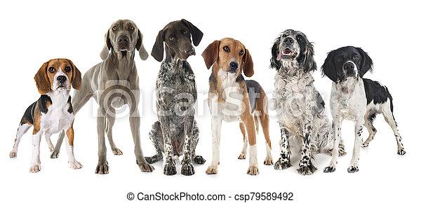 hunting dogs in studio - csp79589492