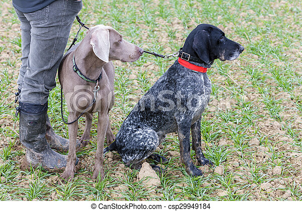 hunting dogs with hunter - csp29949184