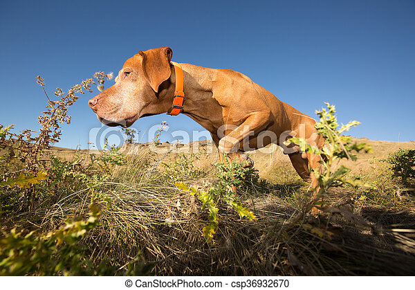 hunting hungarian vizsla dog in field - csp36932670
