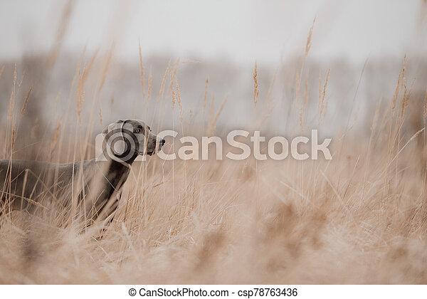 hunting weimaraner dog posing in the field - csp78763436