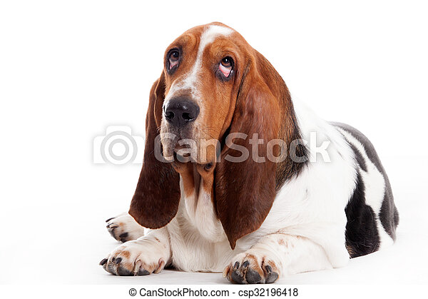 Hush Puppy Lays Down Happy Dog Photographed In The Studio On A White Background