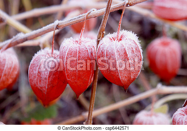 Husk tomato fruits covered with snow. - csp6442571