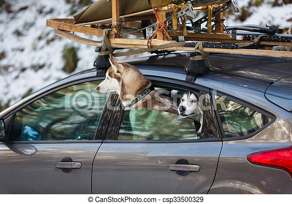 Husky dogs in the car - csp33500329