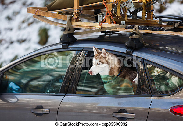 Husky dogs in the car - csp33500332