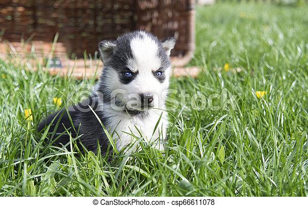 husky in basket - csp66611078