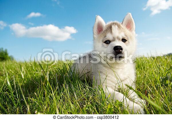 husky, puppy, siberisch, dog - csp3800412