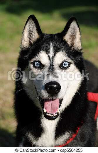 Husky Puppy - csp5564255