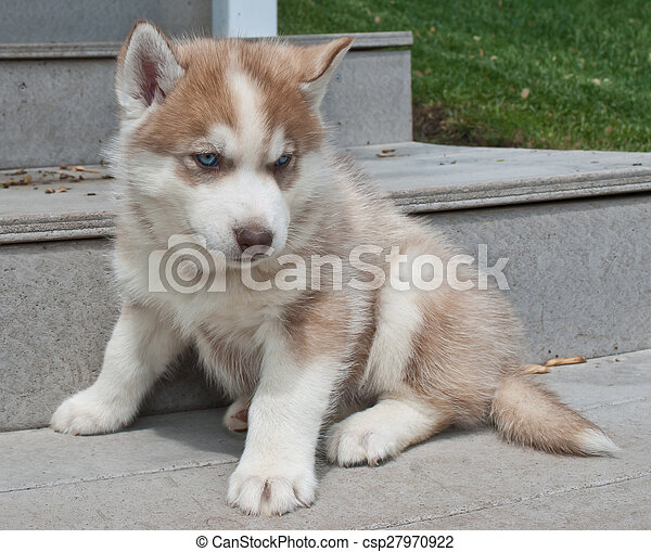 Husky Puppy Very Cute Red Husky Puppy With Blue Eyes Sitting On A