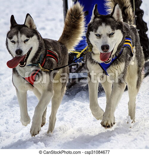Husky sled dog team at work - csp31084677