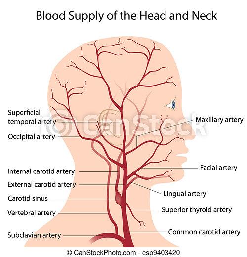 huvud, hals, blod, tillförsel - csp9403420