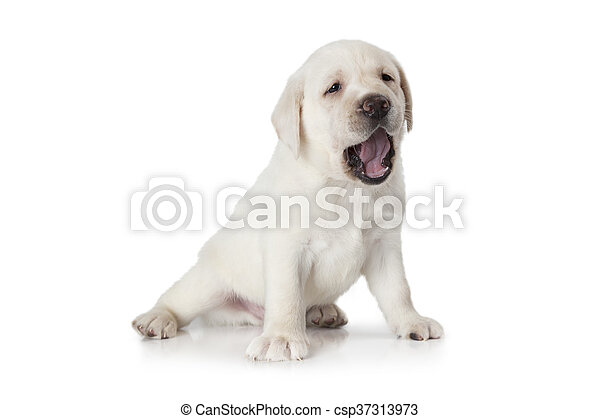 labrador hvid