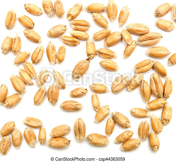 Hvid Hvede Korn Baggrund Hvid Hvede Isoleret Korn