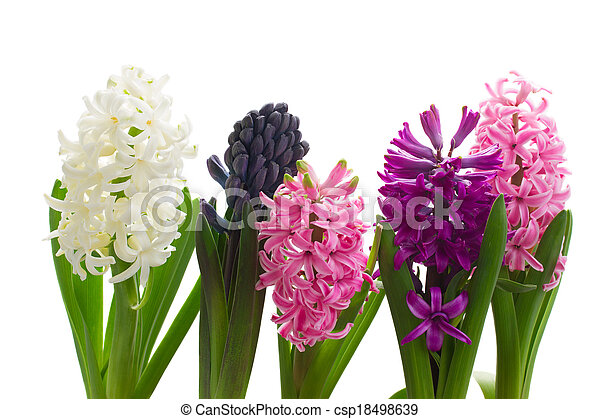 hyacinth stock photos and images hyacinth pictures and royalty free photography available to search from thousands of stock