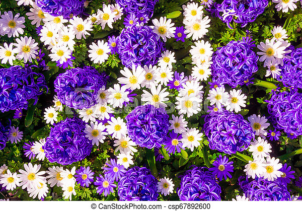 Hyacinth purple with Daisy flower in garden - csp67892600