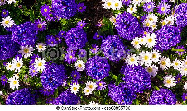 Hyacinth purple with Daisy flower in garden - csp68855736