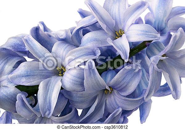 Hyacinthus orientalis - csp3610812