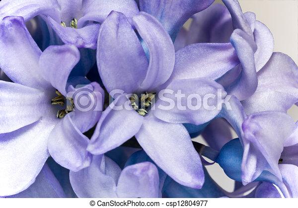 Hyazinthe, blume, lila, -, freigestellt, auf, hintergrund,... Stock ...