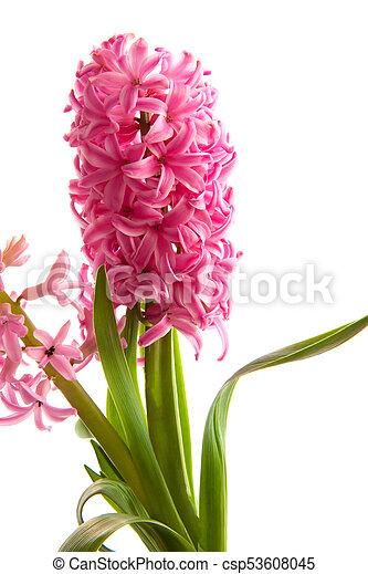 Hyazinthe, fruehjahr, weiße blume, hintergrund. Rosa,... Stockfoto ...