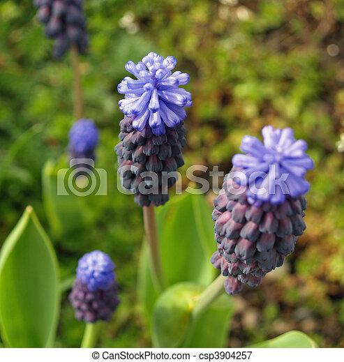 Hyazinthen, traube, kleingarten, winzig, cluster, blumen Bild ...