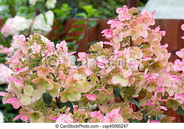 Hydrangea bush with pink caps of flowers hydrangea bush with large hydrangea bush with pink caps of flowers csp45065247 mightylinksfo
