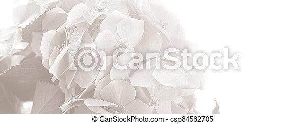 Hydrangea. Hortensia flowers background - csp84582705