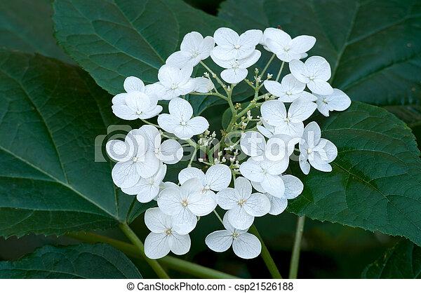 Hydrangea in Bloom - csp21526188
