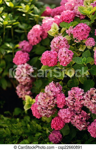 In the green leaves of the bush large pink hydrangea flowers stock hydrangea stock photo mightylinksfo