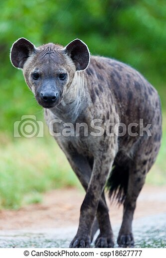 Hyena in the wild - csp18627777