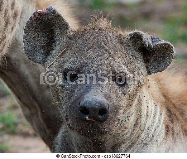 Hyena in the wild - csp18627764