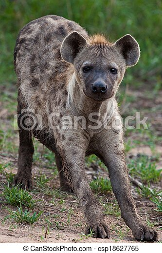 Hyena in the wild - csp18627765