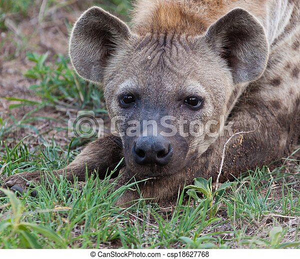 Hyena in the wild - csp18627768