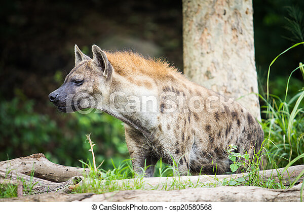 Hyena in the wild  - csp20580568