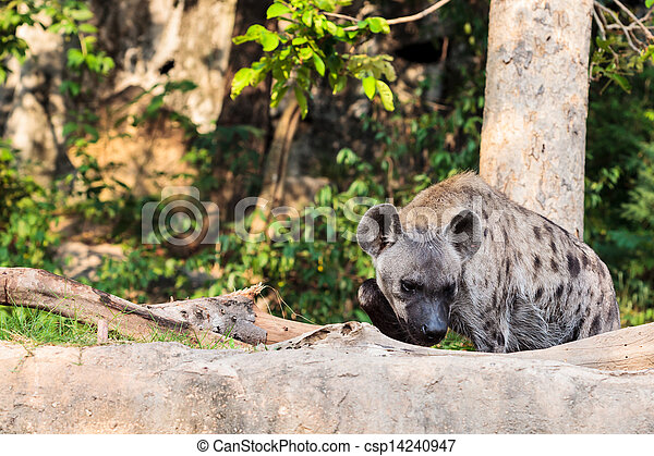 hyena in the zoo - csp14240947