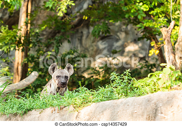 hyena in the zoo - csp14357429