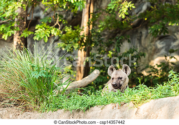 hyena in the zoo - csp14357442