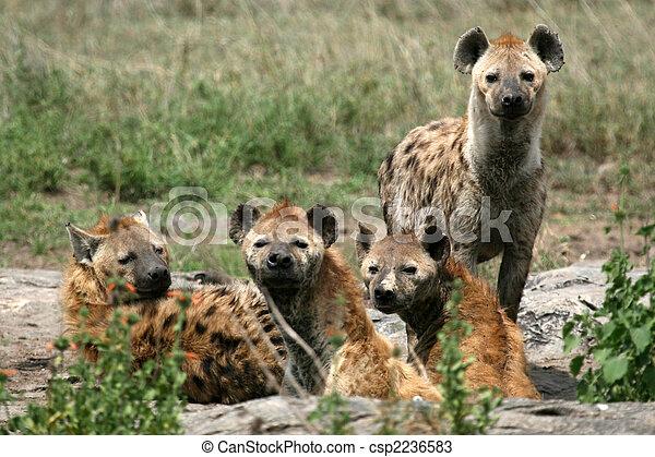 Hyena - Serengeti, Africa - csp2236583