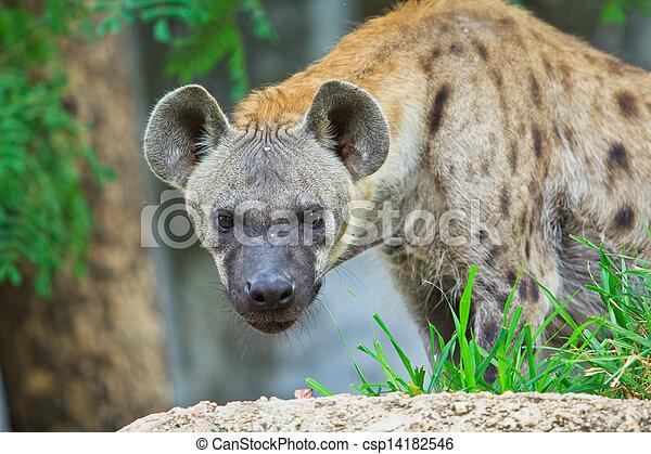 Hyena  - csp14182546