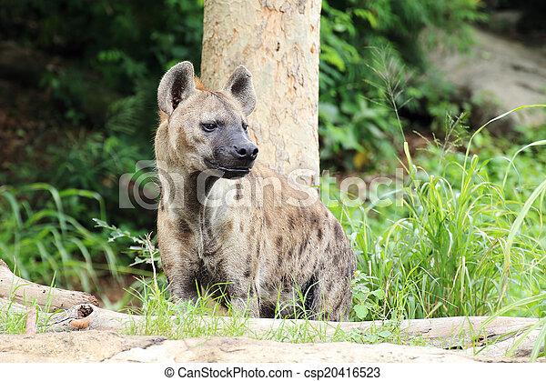Hyena - csp20416523
