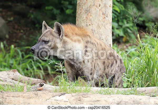 Hyena  - csp20416525
