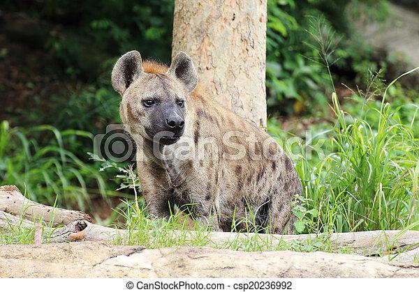 Hyena - csp20236992