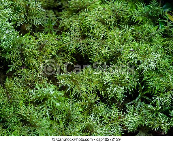 Moss hislocomium esplendores - csp40272139
