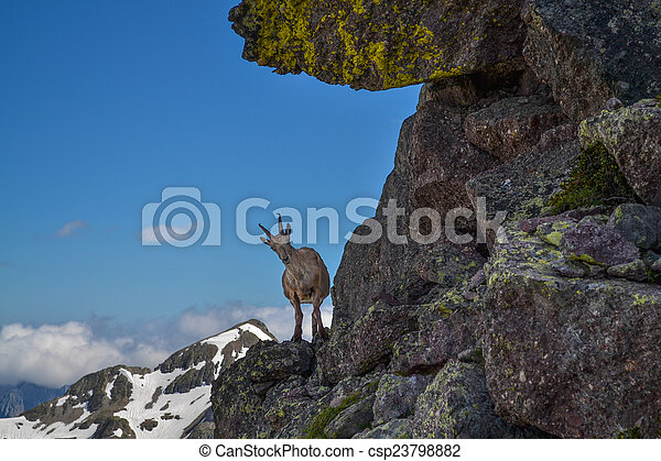 ibex in the mountain - csp23798882