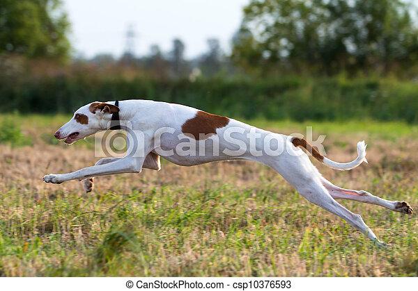 Ibizan Hound dog coursing run in field - csp10376593