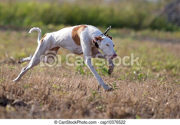 Ibizan Hound dog run in field - csp10376522