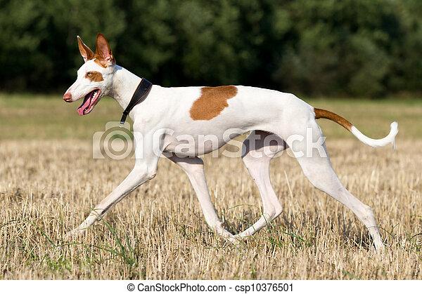 Ibizan Hound dog run in field - csp10376501