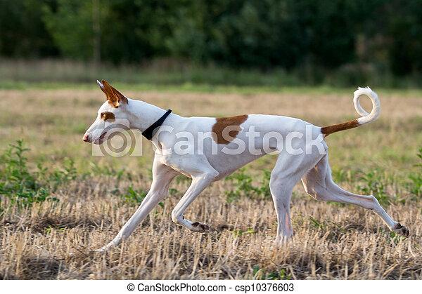 Ibizan Hound dog run in field - csp10376603