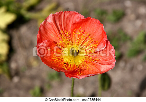 Iceland poppy flower iceland poppy beautiful red flower papaver iceland poppy flower csp0785444 mightylinksfo